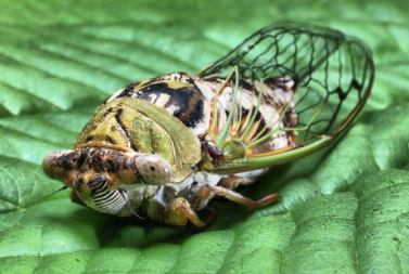 17-year-cicada-leaf